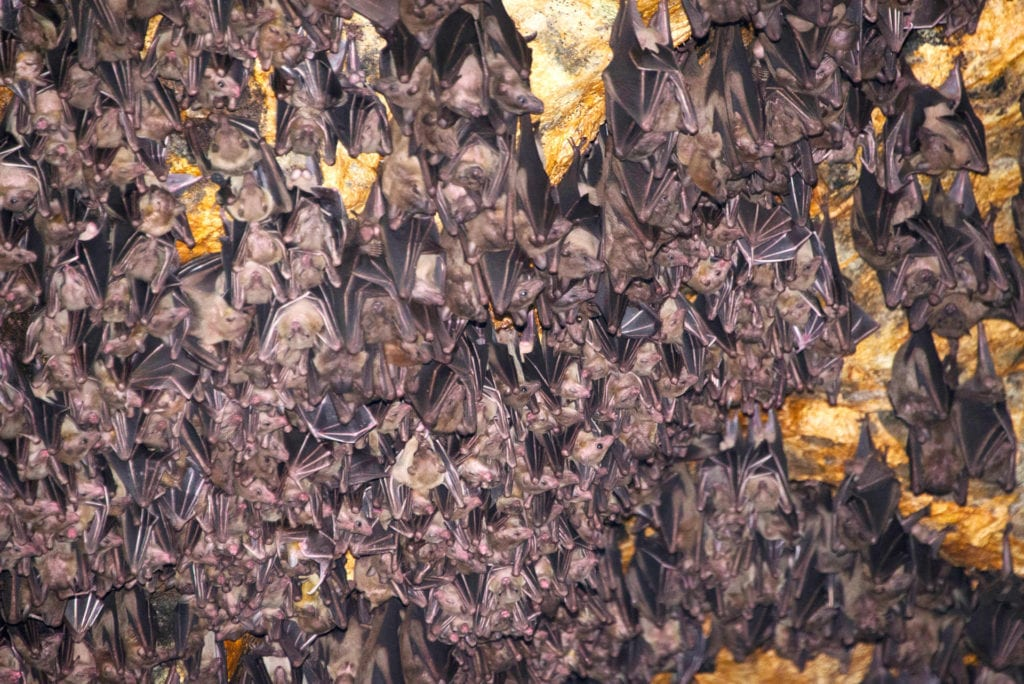 Goa Lawah bats