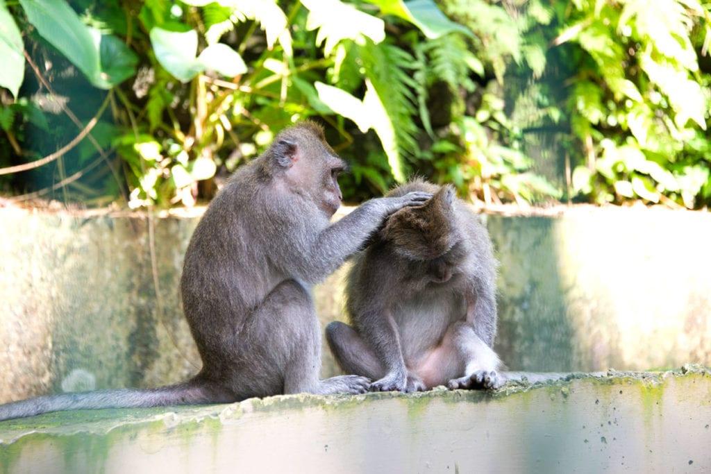 Monkey picking bugs