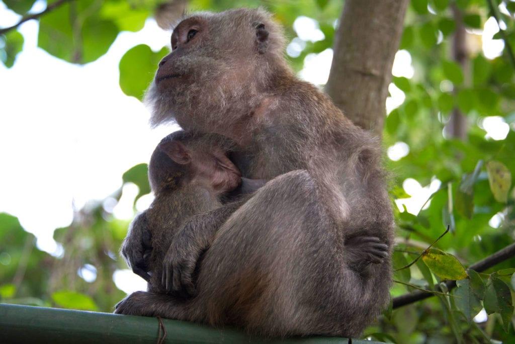 Monkey feeding baby